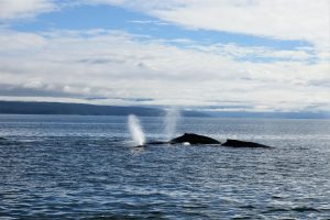 Whales and dolphins release air from their blowholes in the waters just off the coast of Alaska