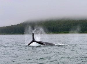 Whale breaching halfway out of the water near the Alaskan shoreline