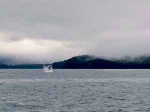Whale jumping out of the water to feed by the Alaskan shoreline