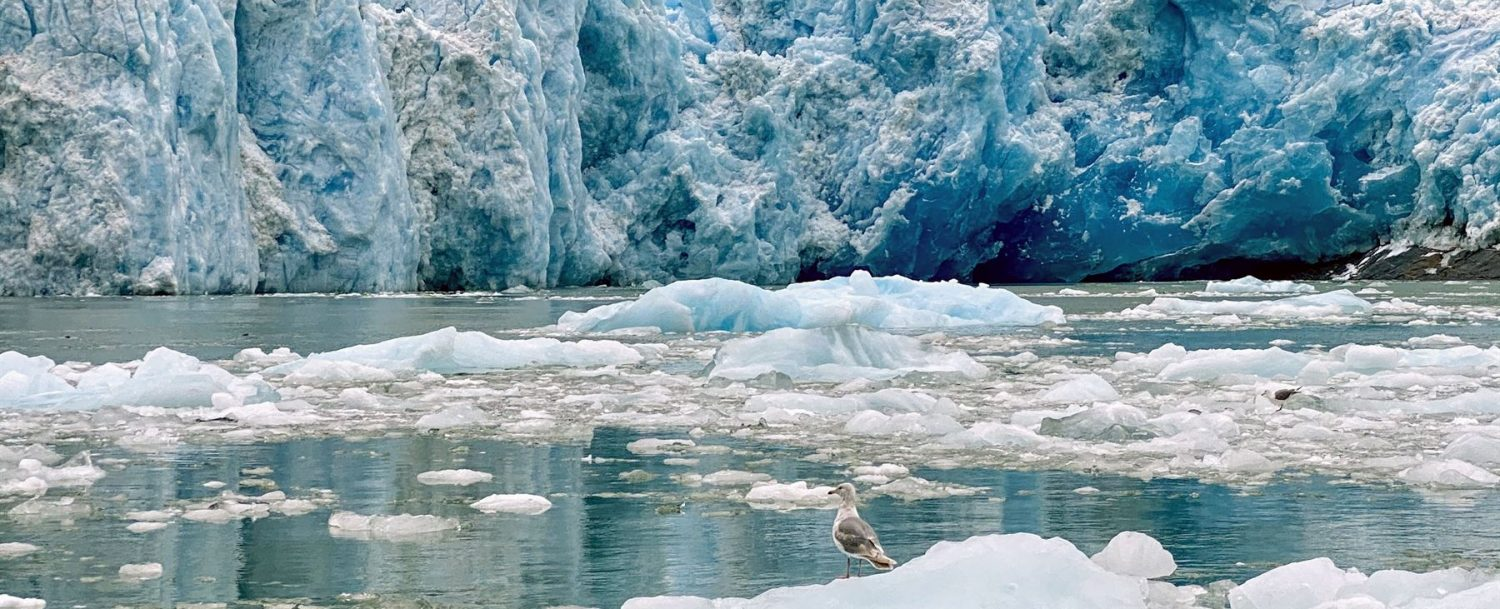 Gull resting on melting ice in the the water before a glacier in Alaska