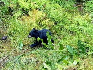 Black bear cub running from people in the underbrush