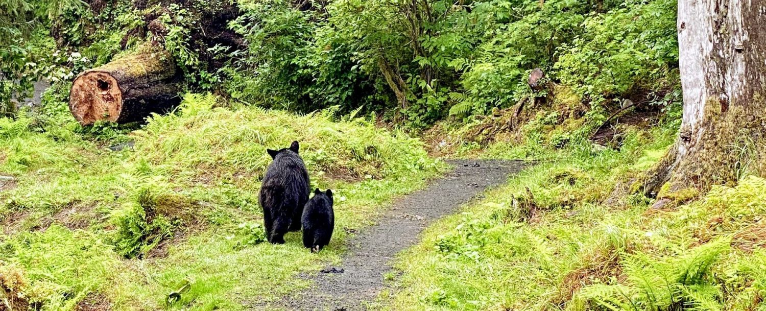 Mother and cub walking along a path in an Alaskan forest