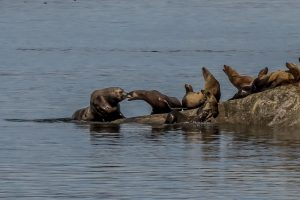 Sea lions bickering and calling as they lay on the rocky shore to sunbathe
