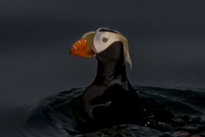 A brightly-colored puffin in the waters of Alaska
