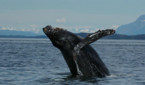 A humpback whale covered in barnacles on the face and fin breaches the upper half of its body out of the water in Glacier Bay