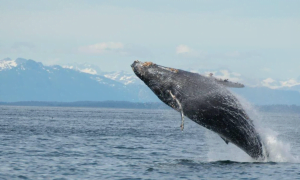 A humpback whale breaches out of the water in Glacier Bay with a view of a snow capped mountain range in the background