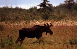 A male moose grazes in an open field