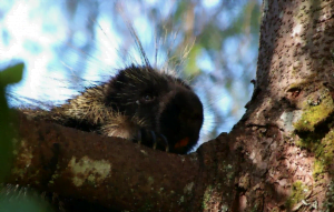 A porcupine peaking over a tree branch with its spikes sticking up