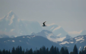 A sea bird at flight with silhouettes of snow covered mountains in the background