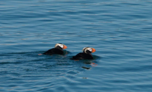 Two tufted puffins floating in the water