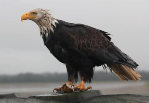 A bald eagle with damp feathers perched on a branch